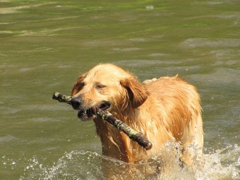 golden retreiver dog