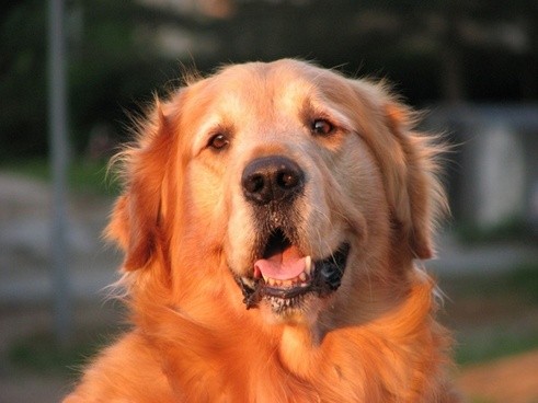 golden retriever dog canine
