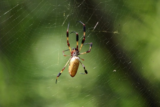 golden silk spider nephila clavipes gold web