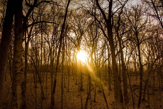 golden sunshine at yellow river state forest iowa