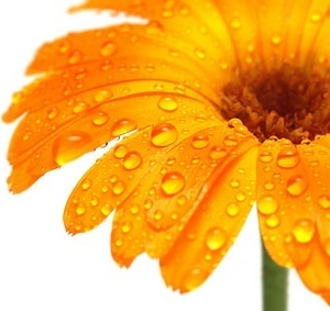 golden yellow daisy picture