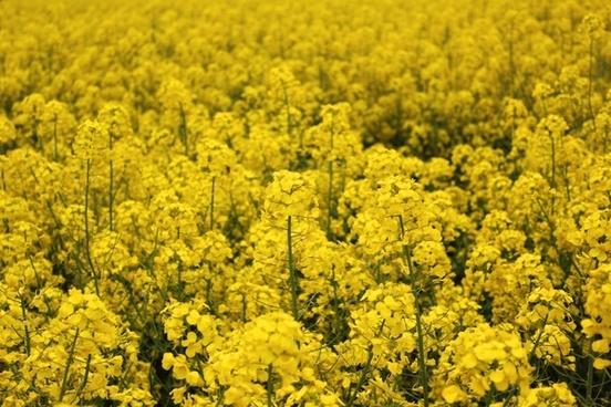 golden yellow rape spring