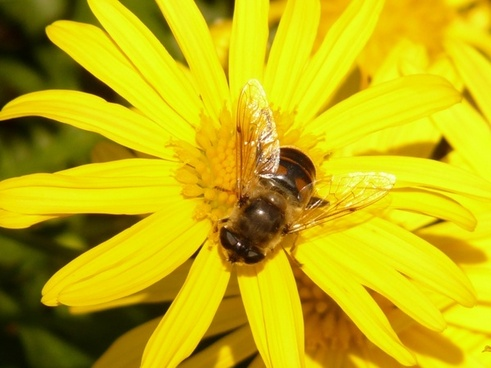 gold-eye daisy yellow strauchmargerite argyranthemum frutescens