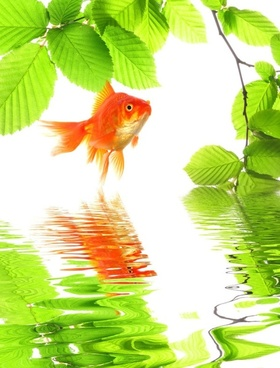goldfish 01 hd picture
