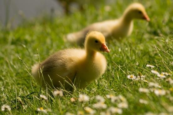 goose chicks close up