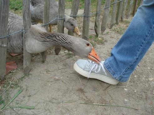 goose gander foot