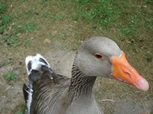 goose gander pets