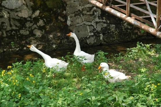 goose goose ducks