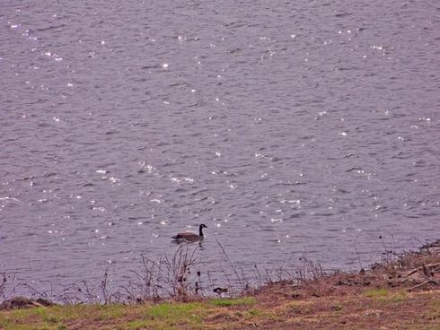 goose in river