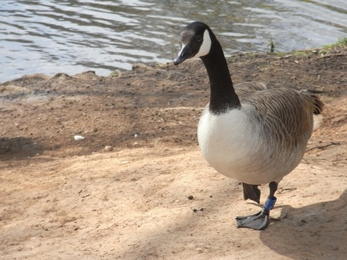 goose nature water bird
