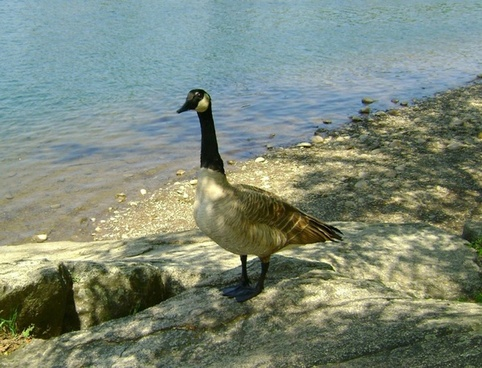 goose rock 2
