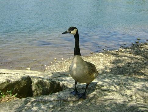 goose rock 3