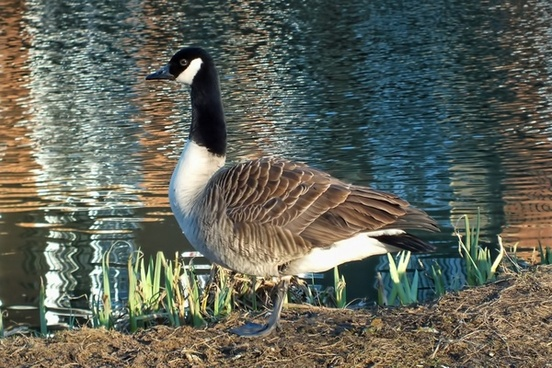 goose standing river