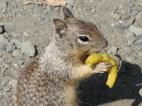 gophers fast food junky chips
