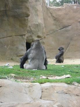 gorilla backside