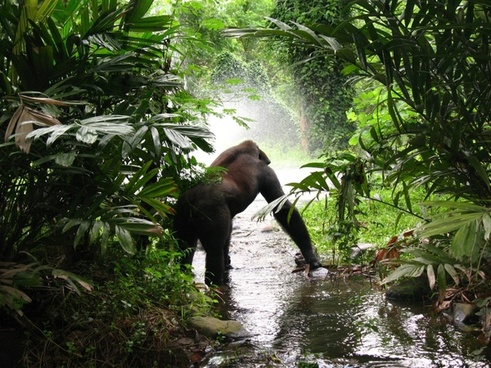 gorilla waiting jungle
