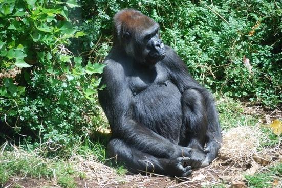 gorilla werribee park australia