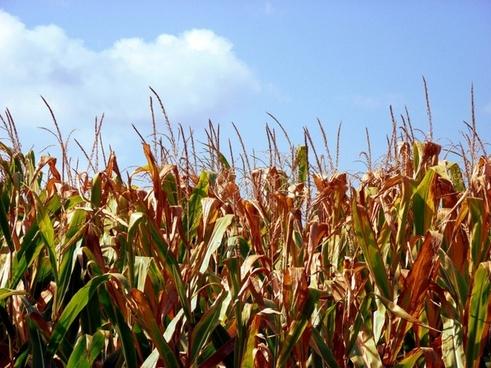 grain corn field