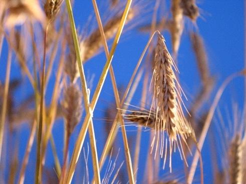 grain summer cereals