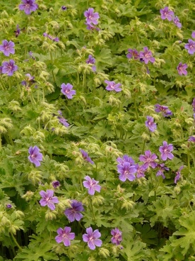 grand geranium cranesbill flower