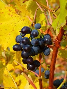 grape grapes fruit