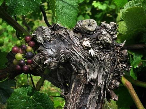 grape grapevine wine