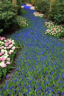 grape hyacinth flower bed