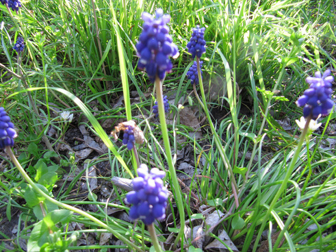 grape hyacinth mckinney texas march 28 2010