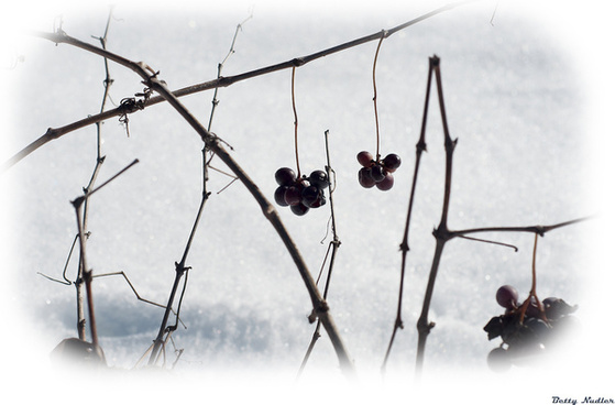 grapes and snow