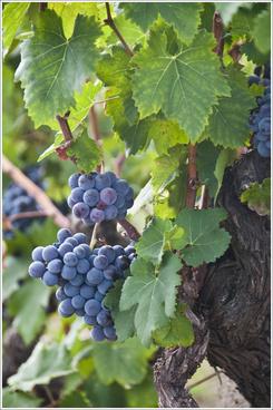 grapes of etna