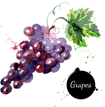 grapes watercolor drawn vector