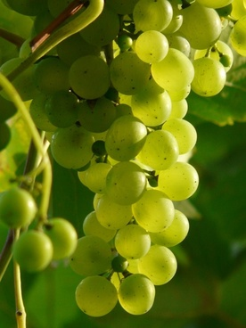 grapes wine plant