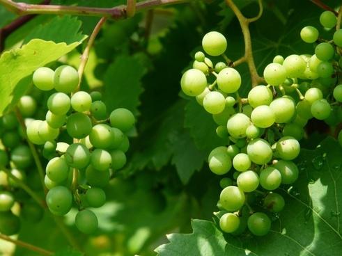 grapes wine plant