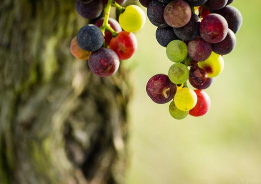 grappe de raisin bordeaux