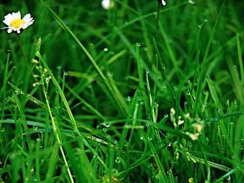 grass green rosa