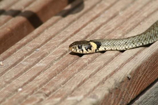 grass snake sschlange reptile