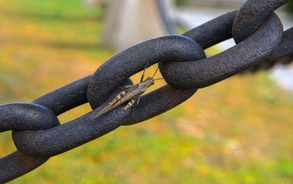 small grasshopper on big metallic chain
