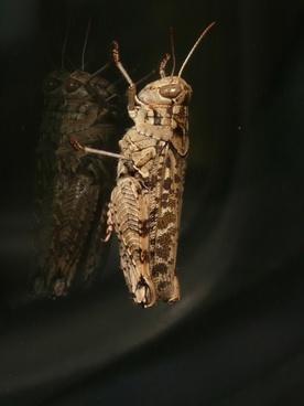 grasshopper italian locust calliptamus italicus