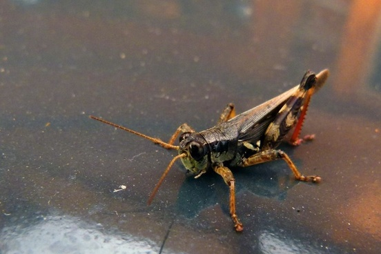 grasshopper locust animal