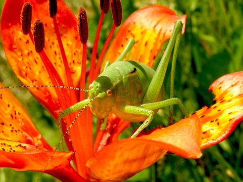 grasshopper martagon lily flowers