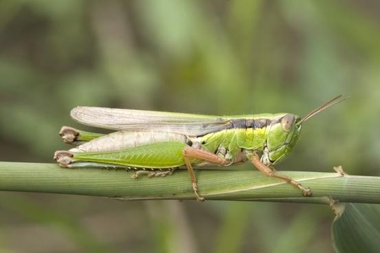 grasshopper migratory locust acrididae