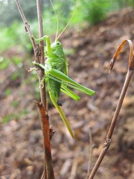 grasshopper nature pets