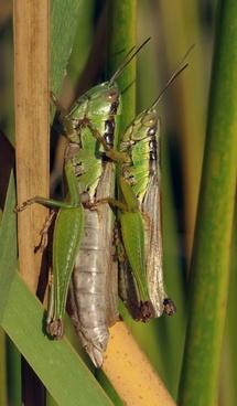 grasshopper pairing migratory locust