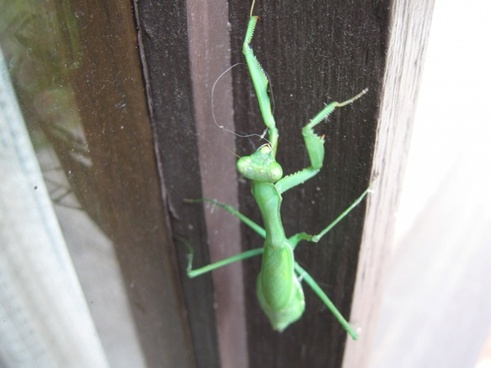 grasshopperpraying mantis