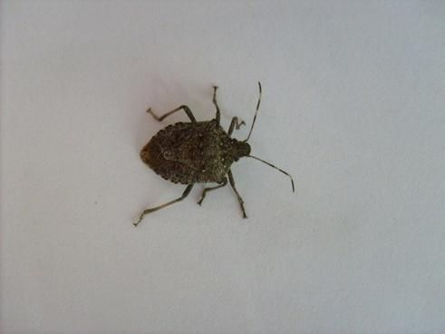 gray bug