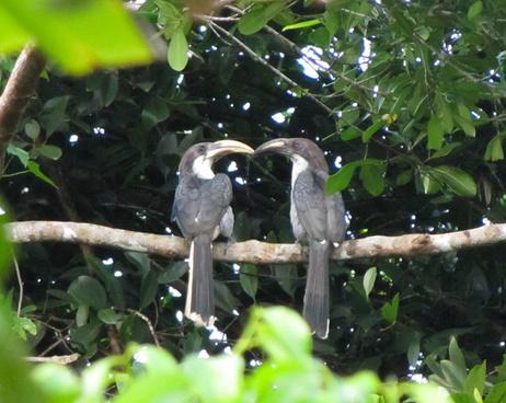 gray hornbill love