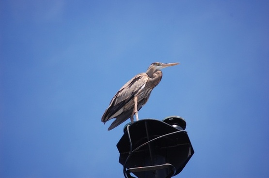 great blue heron bird sky