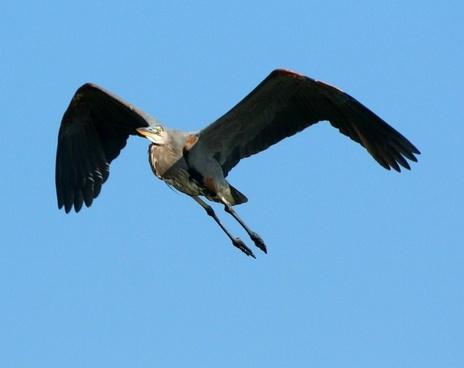 great blue heron flying soar