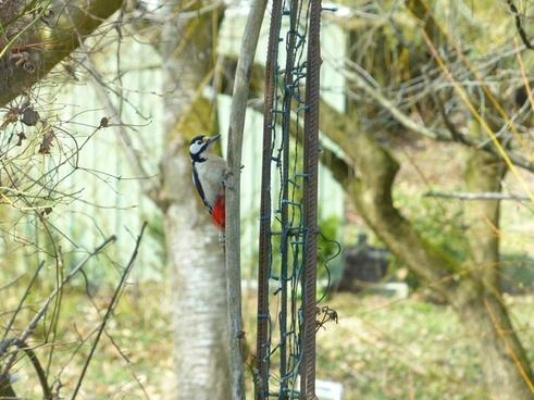 great spotted woodpecker dendrocopos major bird