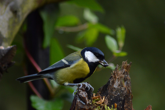 great tit on log